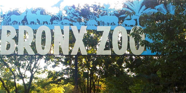 A tiger at the Bronx Zoo in New York City tested positive for the coronavirus, officials said.