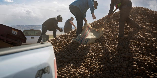 Citizens collect buckets and truck loads of potatoes on April 15, at Ryan Cranney's farm in Oakley, Idaho. Cranney has made potatoes free to the public after having to dump 500,000 pounds due to a shortage of buyers with the restaurant industry closed. (Pat Sutphin/Times-News via AP)