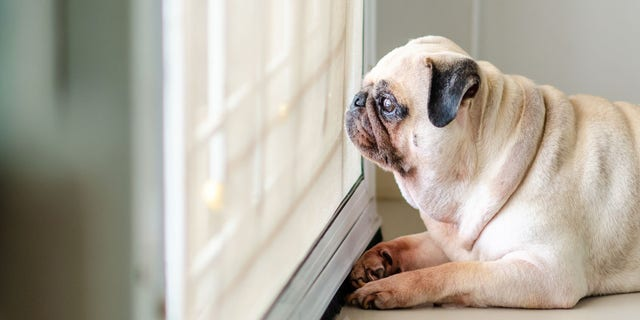 """Until we know more about how the coronavirus impacts animals, social distancing guidelines are now being recommended for family pets in the U.S., according to the CDC on Wednesday.<br data-cke-eol=""""1"""">"""