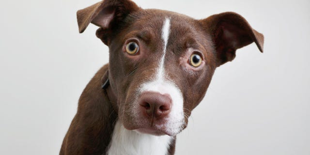 Approximately 20 to 40 percent of dogs referred to animal behavior practices in North America are diagnosed with separation anxiety, even before all these quarantining measures, the ASPCA said.