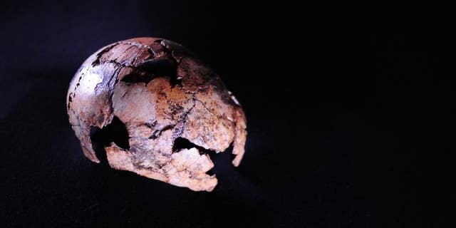 The Homo erectus skullcap,