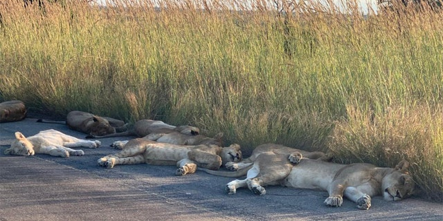 Lions spotted napping on road during coronavirus lockdown