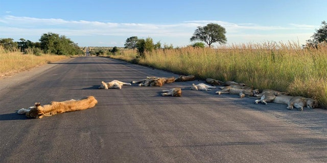 Lions nap on road during South Africa`s lockdown