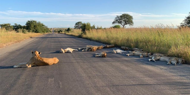 South African lions on normally busy national park road amid lockdown