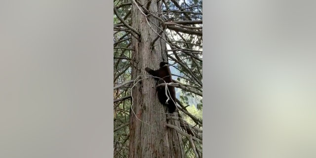 Yosemite National Park Service posted video of a black bear climbing a tree near ranger housing.