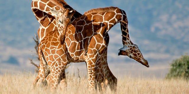 Two giraffes fighting men smashing their necks together.
