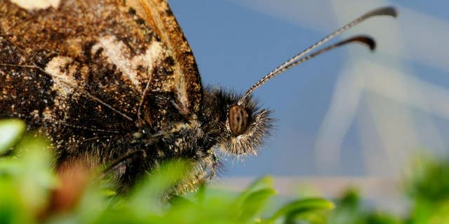 Scientists have found that the planet's insects are also facing a crisis after accelerating rates of extinction have led to a worldwide fall in insect numbers. (Dr Matt Hill, University of Huddersfield)