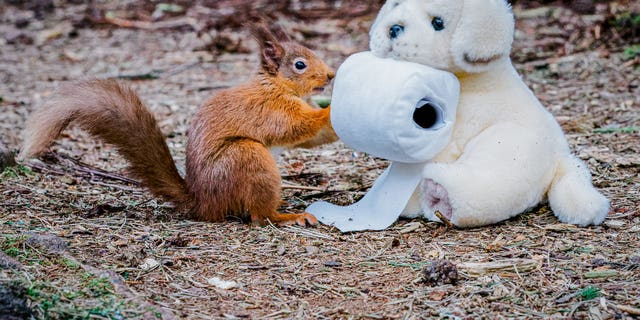 The woodland animal is also seen trying to fight another shopper (an Andrex puppy-style cuddly toy) for what appears to be the last toilet roll! (Credit: SWNS)