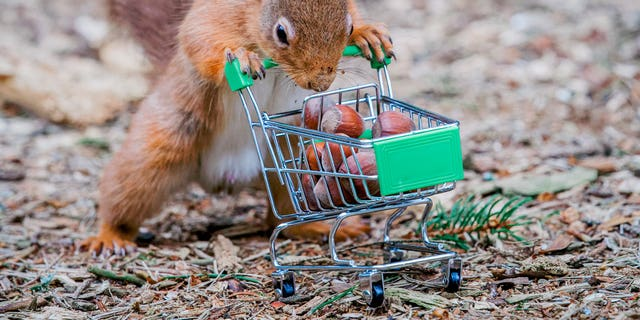 Red squirrel with a shopping trolley full of acorns in Carnie Woods, Aberdeenshire by photographer Jeffrey Wang. (Credit: SWNS)