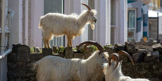 Goats have been spotted eating from bushes and trees in the town. (Pete Byrne/PA via AP)