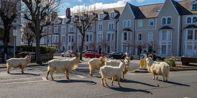 A herd of goats walk the quiet streets in Llandudno, north Wales, Tuesday as residents quarantine indoors amid the coronavirus pandemic. (Pete Byrne/PA via AP)