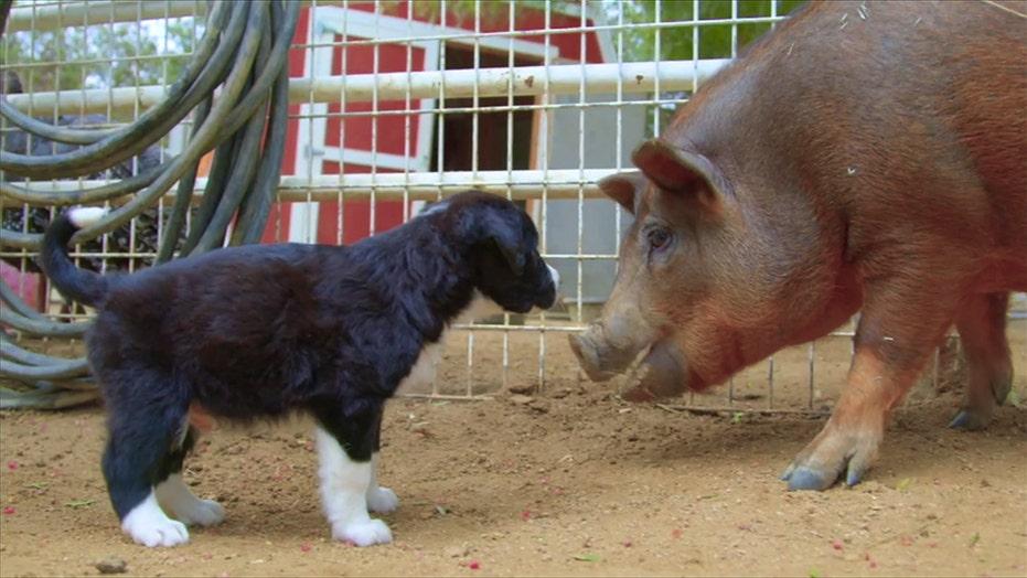 California animal rescue farm hosts puppies for companionship