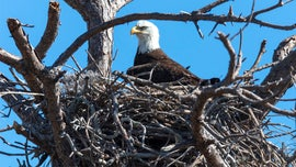 Massachusetts bald eagle population soars, first nest found on Cape Cod in 115 years, officials say