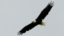Mysterious bald eagle death: Raptor stabbed through heart by loon's beak, experts reveal