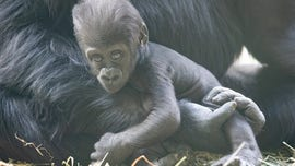 Baby gorilla at Seattle zoo badly injured in family skirmish