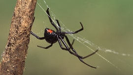 Brothers allow black widow to sting them believing they'd turn into Spider-Man: report
