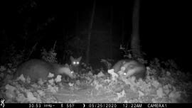 Fox spotted on camera watching intense badger fight