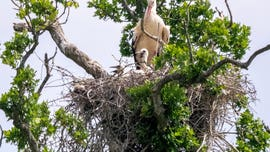 First white storks born in England in 600 years shock onlookers