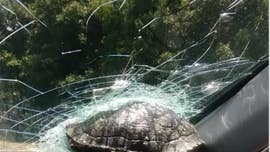 Turtle strikes car in Georgia, gets lodged in windshield