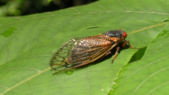Cicadas living underground for past 17 years to emerge in these states this summer