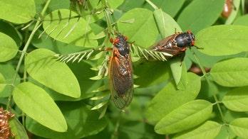 After 17 years underground, vast army of cicadas set to emerge