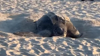 Massive leatherback sea turtle spotted nesting on Florida beach