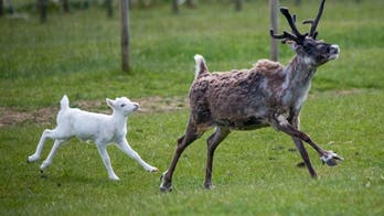 'Rare' newborn white reindeer spotted in England