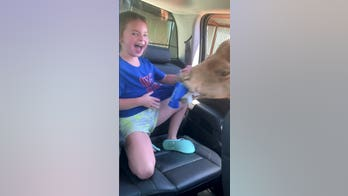 Camel goes viral after it pokes its head into car in search of snacks
