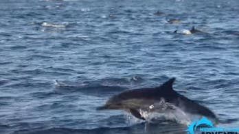 Mega-pod of 1,000 dolphins spotted off California coast