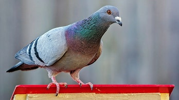 India captures 鈥榮py鈥� pigeon suspected of working for Pakistan: reports