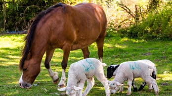 Incredible pictures show pony bonding with three orphaned lambs