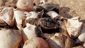 Florida men caught stealing 93 sea turtle eggs, report says