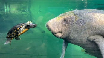 Tiny turtle is ready to take on gigantic manatee in remarkable photo