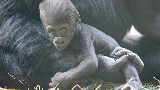 Baby gorilla at Seattle zoo badly injured in family skirmish
