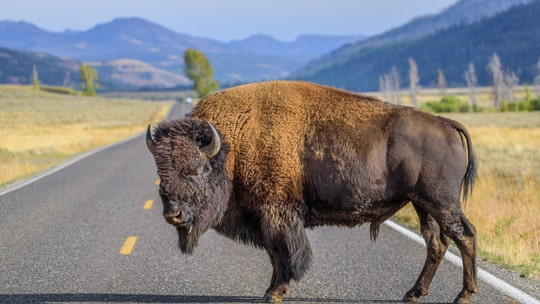 Woman injured by bison at Yellowstone National Park on second day after reopening