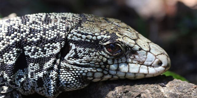 Georgia wildlife authorities are trying to eradicate the invasive Argentine black and white tegu — an omnivorous lizard that can grow up to four feet long and is now established in Toombs and Tattnall counties.