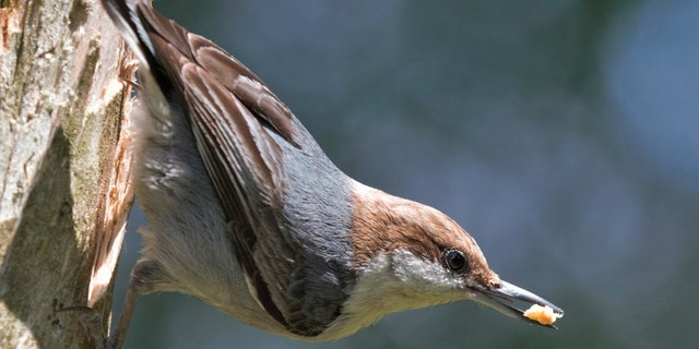 A brown-headed nuthatch bird in North Carolina. An interest in birdwatching has soared nationwide as bored Americans look up from their Zoom meetings or the unemployment website and notice a fascinating world just outside their window.?