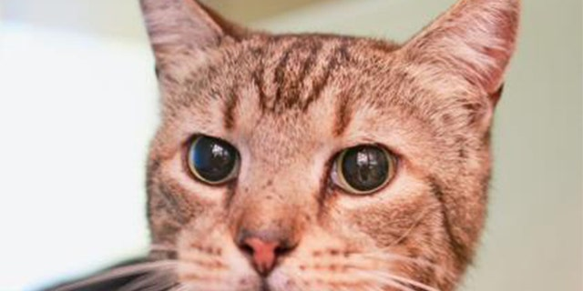 A cat currently available for adoption from the Atlanta Humane Society.