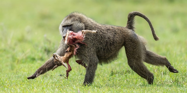 A baboon snatched up a baby gazelle and tore it to shreds in front of a wildlife photographer at a Kenya preserve – in a gory scene caught on camera. (Mediadrumimages / Nimit Virdi)