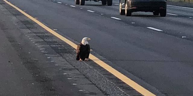 The injured bald eagle was found on the I-5 near Knighton. (COURTESY: CHP - REDDING)