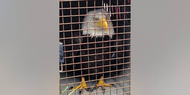 California Highway Patrol, Shasta County animal control and Department of Fish & Wildlife (DFW) officials caged the eagle. (COURTESY: CHP - REDDING)