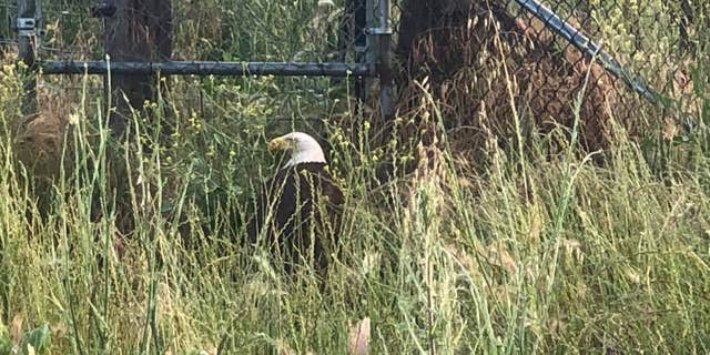 California Highway Patrol officers were able to get the eagle off the interstate. (COURTESY: CHP - REDDING)