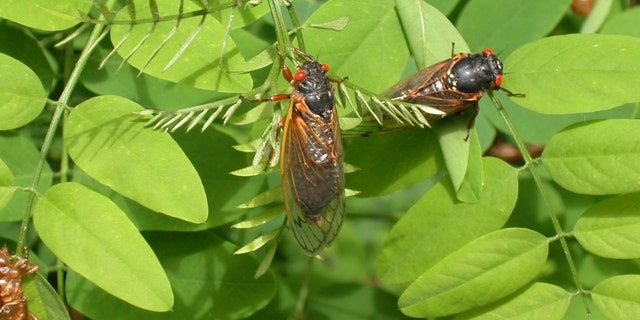 Adult cicadas from brood X dry their wings on leaves May 16, 2004 in Reston, Virginia. - file photo.