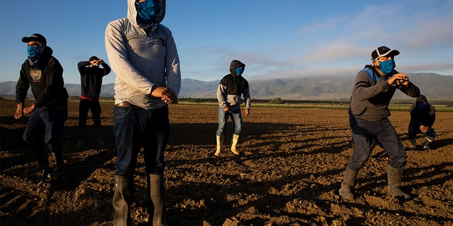 GREENFIELD, CA - APRIL 28: Farm laborers with Fresh Harvest arrive in the early morning to begin harvesting on April 28, 2020 in Greenfield, California. (Brent Stirton/Getty Images)