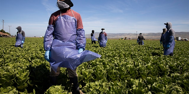Farm laborers from Fresh Harvest working with an H-2A visa maintain a safe distance as a machine is moved on April 27, 2020 in Greenfield, California. (Photo by Brent Stirton/Getty Images)