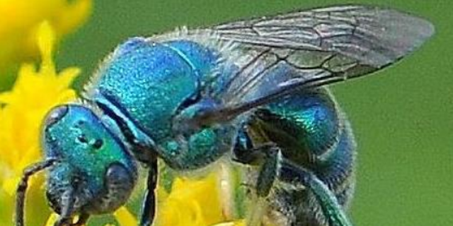 Researchers in Florida rediscovered a metallic blue bee that was deemed so rare, scientists weren't sure it still existed, according to a report this month.
