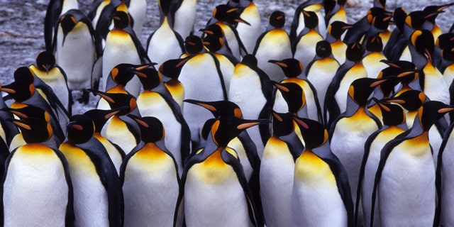 South Georgia Island, St. Andrews Bay, group of king penguins. -file photo.