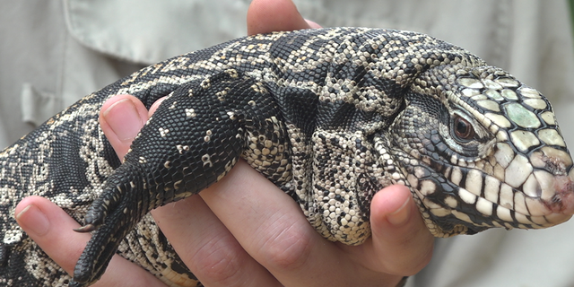 Crews hold Tegu lizards that was captured years ago.