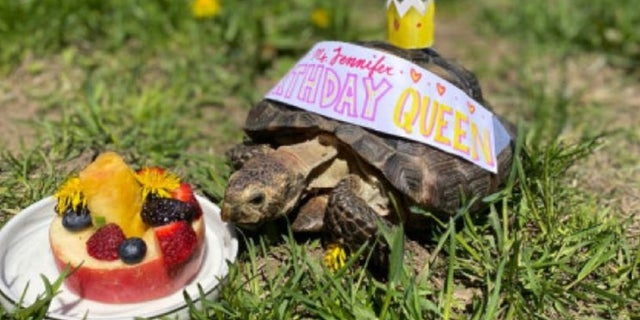 Ms. Jennifer celebrates her 53rd birthday Wednesday with fun in the sun and some fruit cake. The tortoise is looking for a new home after her owner died from the coronavirus, the Massachusetts Society for the Prevention of Cruelty to Animals said.