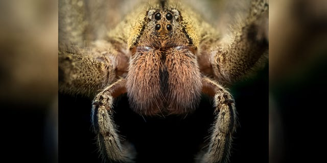 The spiders were reportedly identified as Brazilian wandering spiders.